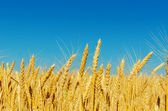 Golden barley and blue sky — Stock Photo