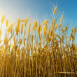 Sunset and harvest field — Stock Photo