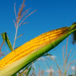 Fresh raw corn on the cob with husk - Stock Photo