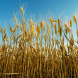 Golden harvest on field — Stock Photo