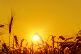 Golden sunset over harvest field in summer — Stok fotoğraf
