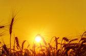 Yaz aylarında hasat alanın üzerinde golden sunset — Stok fotoğraf