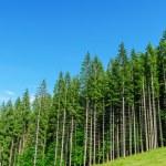 Pine forest under deep blue sky in mountain Carpathians — Stock Photo #17601339