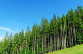 Pine forest under deep blue sky in mountain Carpathians — Stock Photo