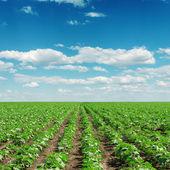 Cielo con nubes y el campo con pequeños girasoles — Foto de Stock