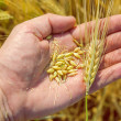 Golden harvest in hand over field — Stock Photo