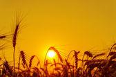 Slunce nad polem obilí v létě — Stock fotografie