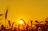 Sun over grain field in summer — Stok fotoğraf