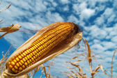 Ripe maize on a field under clouds — Stock Photo