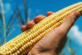 Nezpracovaná kukuřice v ruce nad polem — Stock fotografie