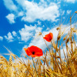 Red poppy in golden field - Stock Photo