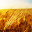 Sunset over golden field - Stock Photo