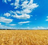 Niebieski pochmurne niebo nad złotym polu z jęczmienia — Zdjęcie stockowe