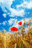 Czerwony mak w złotym polu — Zdjęcie stockowe