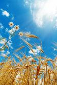 Biały kwiat z pszenicy pod niebo słonecznej — Zdjęcie stockowe