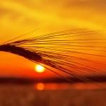 puesta de sol rojo sobre campo de trigo y estanque — Foto de Stock   #19727153