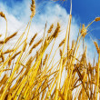 Royalty-Free Stock Photo: Wheat field and blue sky with clouds