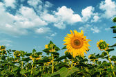 Sunflowers under cloudy sky — Stock Photo