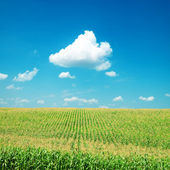 Green maize field under clouds — Stock Photo