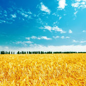 Field with gold harvest under cloudy sky — Stock Photo