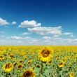 Blooming field of sunflowers and deep blue sly with clouds — Stock Photo