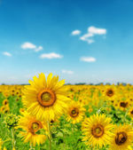 Landscape with sunflower field and cloudy blue sky — Stock Photo