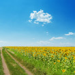 Dirty road near field with sunflowers under light blue sky with - Stock Photo