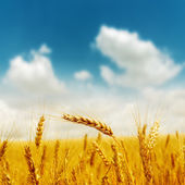 Golden harvest under blue cloudy sky — Stok fotoğraf