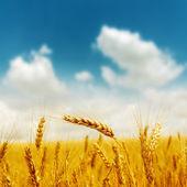 Złote żniwa pod błękitne niebo pochmurne — Zdjęcie stockowe