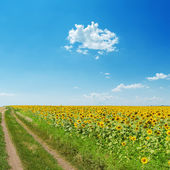 Dirty road near field with sunflowers under light blue sky with — Stock Photo