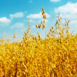 Stock Photo: Golden oats close up