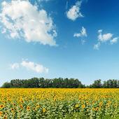 Champ de tournesols sous ciel nuageux — Photo