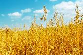 Golden oats close up — Stock Photo
