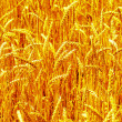 Golden harvest as background — Stock Photo