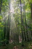 Wald im nebel mit sonne — Stockfoto