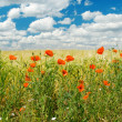 Ped poppies on field — Stock Photo
