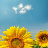 Flower of sunflower close up under blue sky — Stock Photo