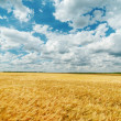 Field with ripe wheat under cloudy sky — Stock Photo
