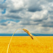 Ripe wheat under dramatic cloudy sky — Stock Photo