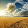 Golden field and sunset in dramatic sky — Stock Photo