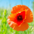 Red poppy on green field — Stock Photo