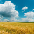 Cloudy blue sky and golden field — Stock Photo
