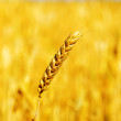 One golden wheat over field — Stock Photo