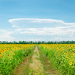 Country road in field with sunflowers — Stock Photo #33587883