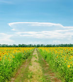 Country road in field with sunflowers — Stock Photo