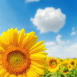 Sunflower closeup on field and blue sky — Stock Photo