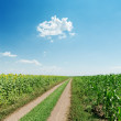 Dirty road in field with sunflowers and blue sky — Stock Photo #35418795
