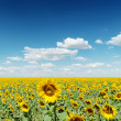 Deep blue sky with clouds over sunflowers — Stock Photo