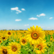 Sunny day on field with sunflowers — Stock Photo