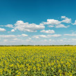 Sunflowers field and blue cloudy sky — Stock Photo